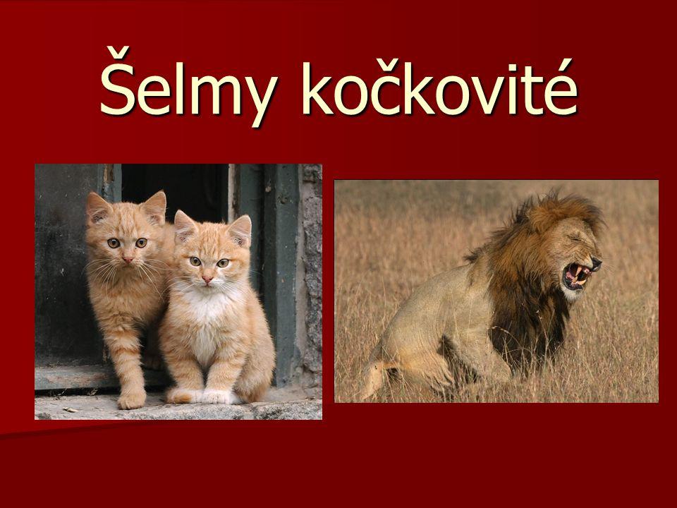 Velmi oblíbené šelmy kočkovité Mají kulatou hlavu.