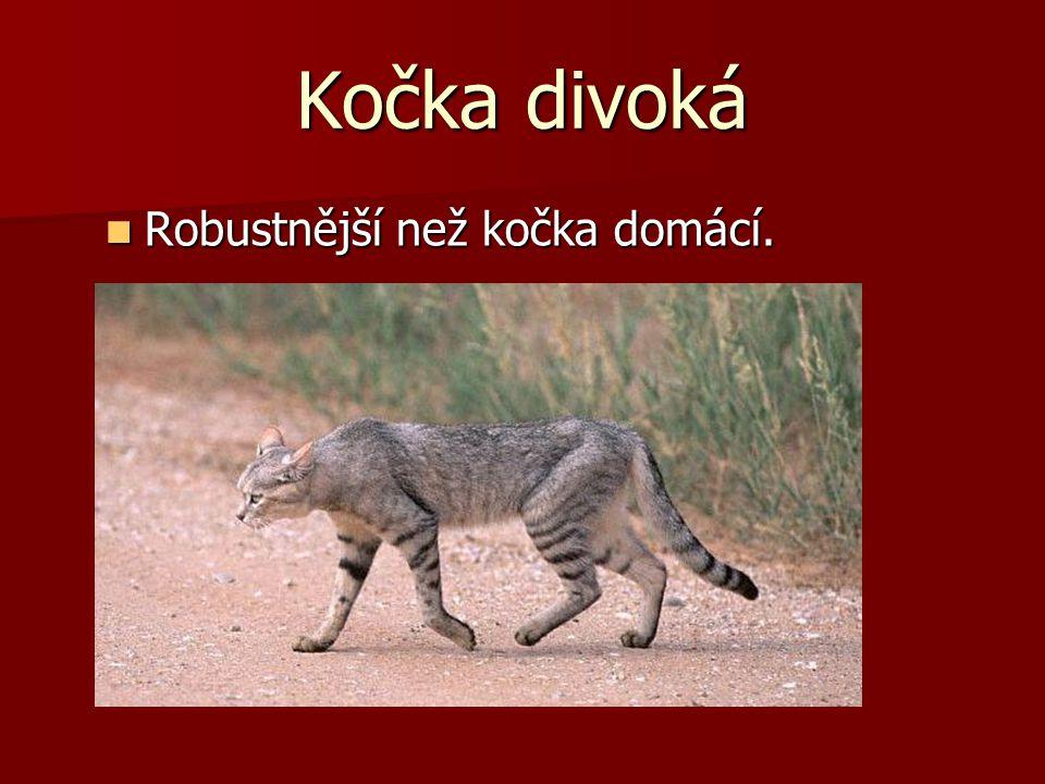 Kočka divoká Robustnější než kočka domácí. Robustnější než kočka domácí.