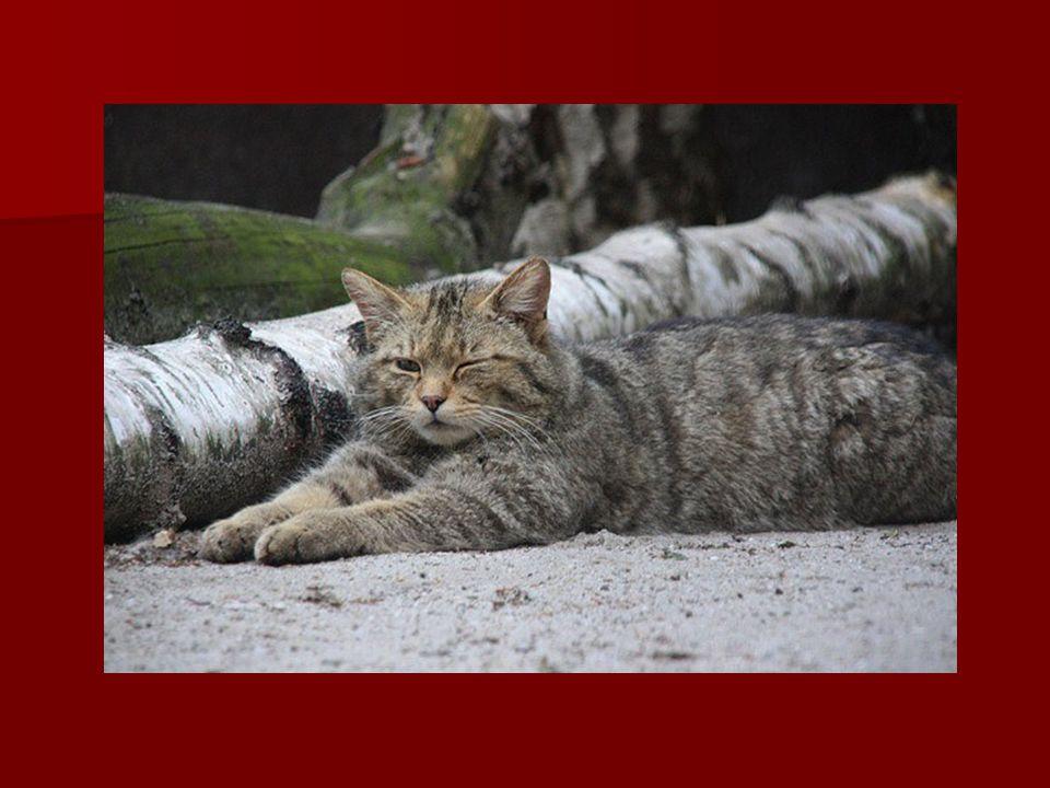Rys ostrovid Největší evropská kočkovitá šelma.Největší evropská kočkovitá šelma.