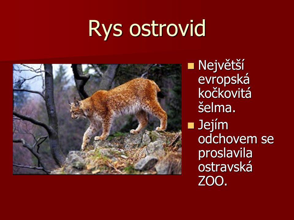 Rys ostrovid Největší evropská kočkovitá šelma. Největší evropská kočkovitá šelma. Jejím odchovem se proslavila ostravská ZOO. Jejím odchovem se prosl