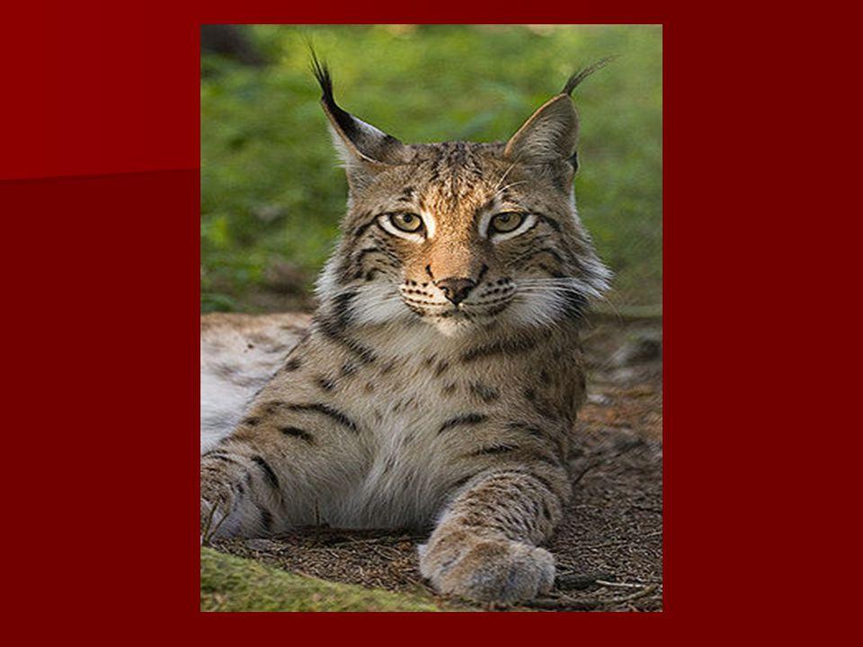 Puma americká Žije v Americe.Žije v Americe. Jednobarevná šelma s barevnými mláďaty.