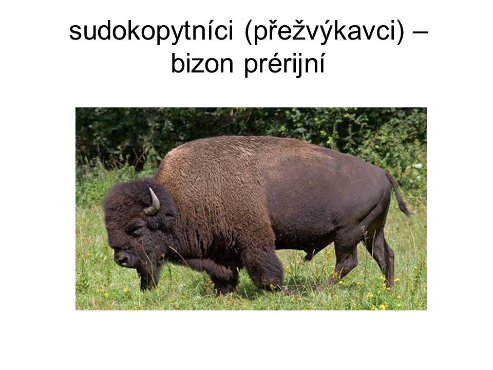 sudokopytníci (přežvýkavci) – bizon prérijní