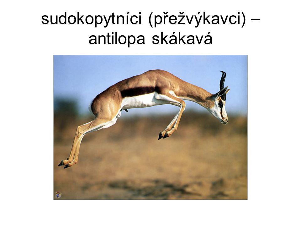 sudokopytníci (přežvýkavci) – antilopa skákavá