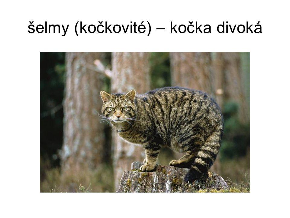 šelmy (kočkovité) – kočka divoká