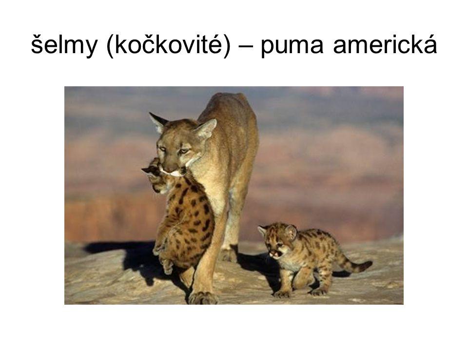 šelmy (kočkovité) – puma americká