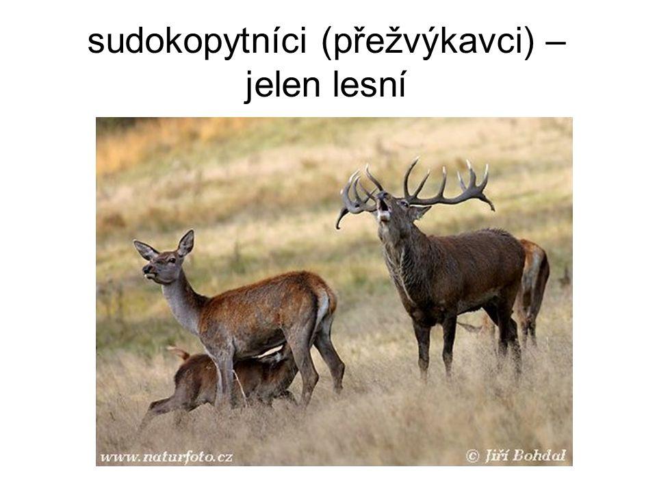 sudokopytníci (přežvýkavci) – jelen lesní