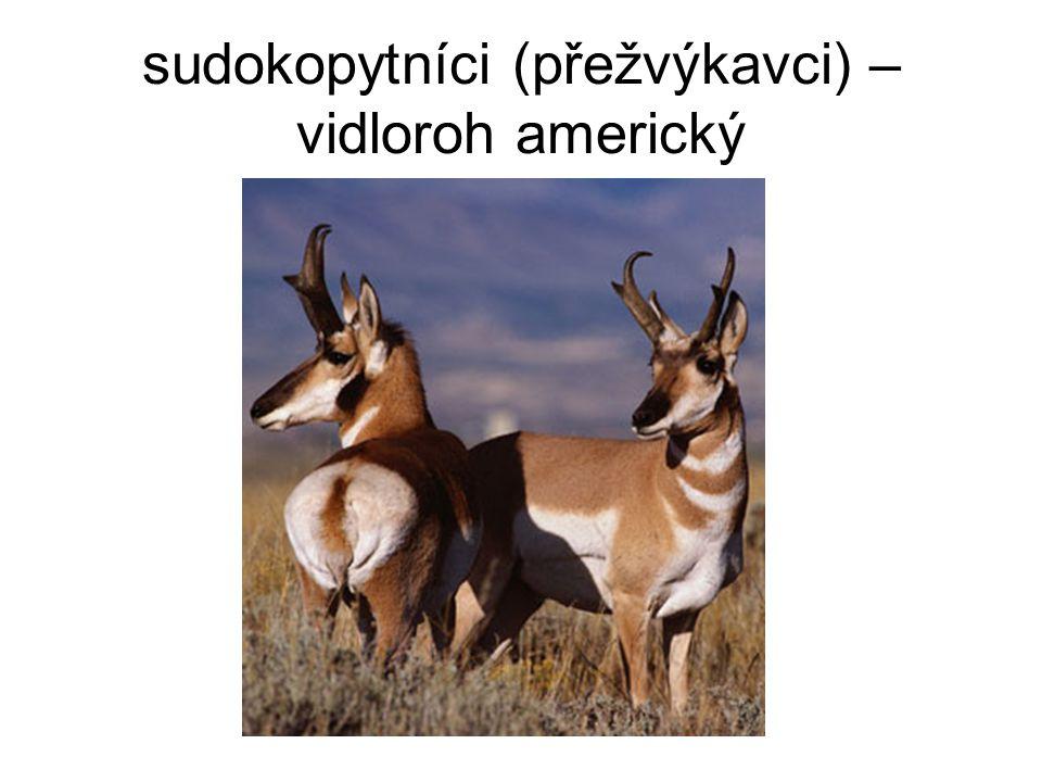 sudokopytníci (přežvýkavci) – vidloroh americký