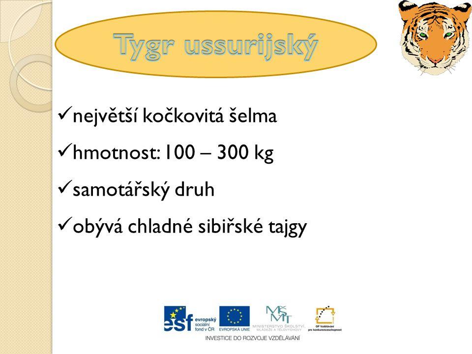 největší kočkovitá šelma samotářský druh hmotnost: 100 – 300 kg obývá chladné sibiřské tajgy