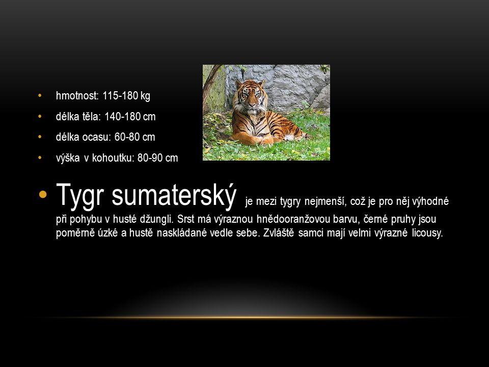 hmotnost: 115-180 kg délka těla: 140-180 cm délka ocasu: 60-80 cm výška v kohoutku: 80-90 cm Tygr sumaterský je mezi tygry nejmenší, což je pro něj výhodné při pohybu v husté džungli.