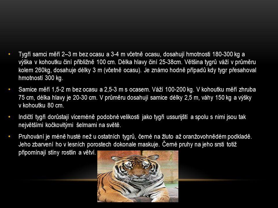 Tygří samci měří 2–3 m bez ocasu a 3-4 m včetně ocasu, dosahují hmotnosti 180-300 kg a výška v kohoutku činí přibližně 100 cm. Délka hlavy činí 25-38c