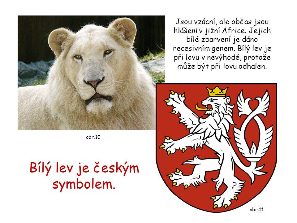 Bílý lev je českým symbolem. Jsou vzácní, ale občas jsou hlášeni v jižní Africe. Jejich bílé zbarvení je dáno recesivním genem. Bílý lev je při lovu v