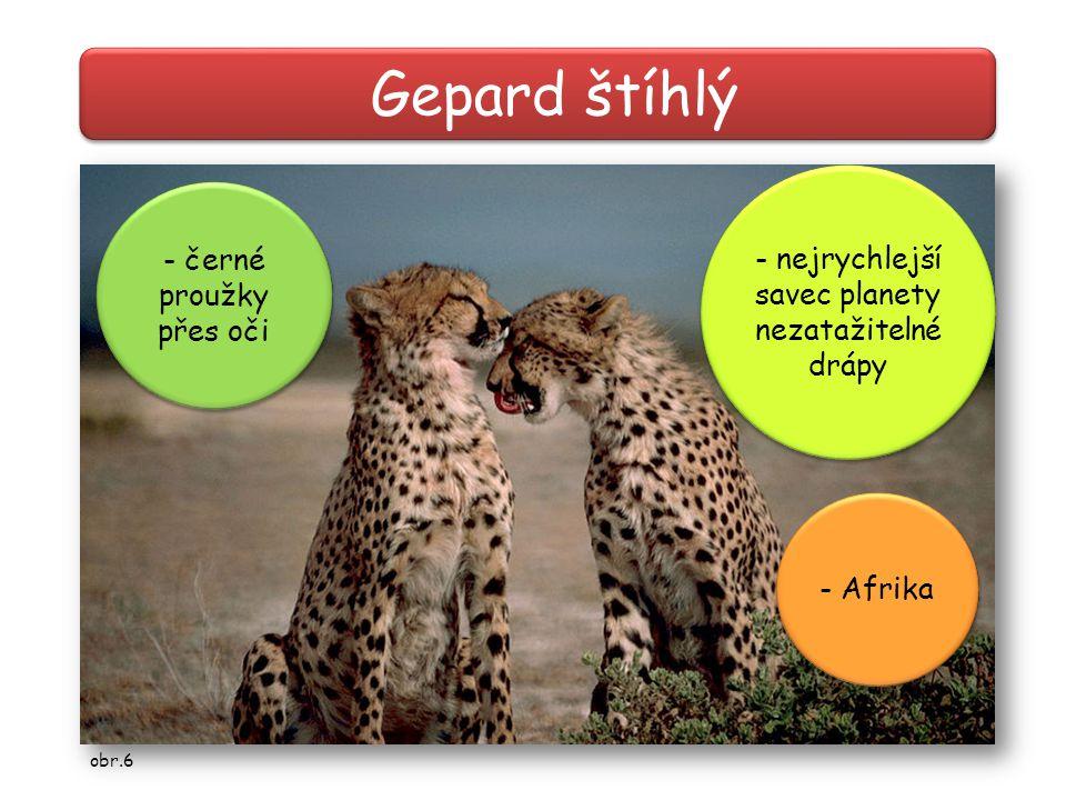 Gepard štíhlý - černé proužky přes oči - nejrychlejší savec planety nezatažitelné drápy - nejrychlejší savec planety nezatažitelné drápy - Afrika obr.