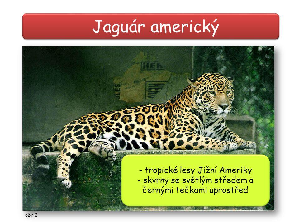 Jaguár americký - tropické lesy Jižní Ameriky - skvrny se světlým středem a černými tečkami uprostřed - tropické lesy Jižní Ameriky - skvrny se světlý