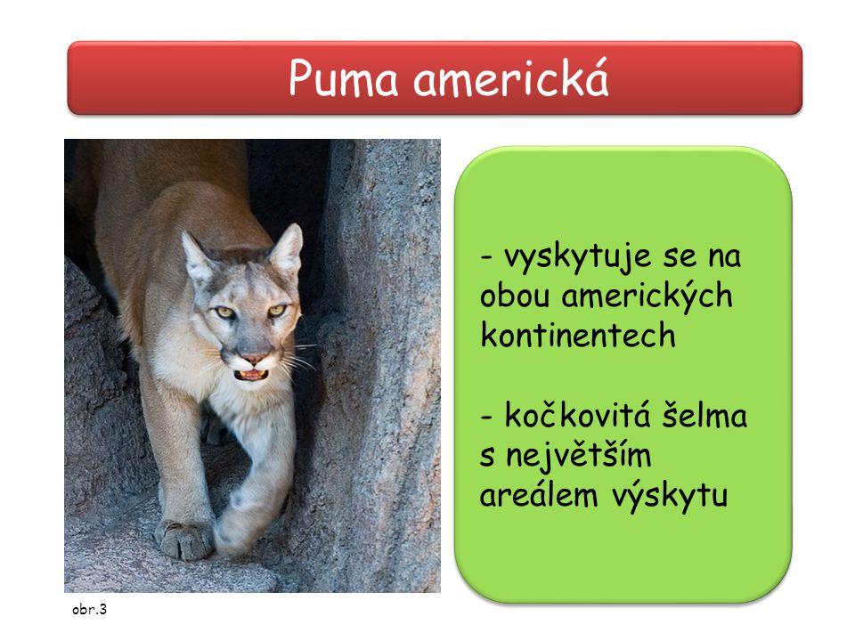 Puma americká - vyskytuje se na obou amerických kontinentech - kočkovitá šelma s největším areálem výskytu - vyskytuje se na obou amerických kontinent