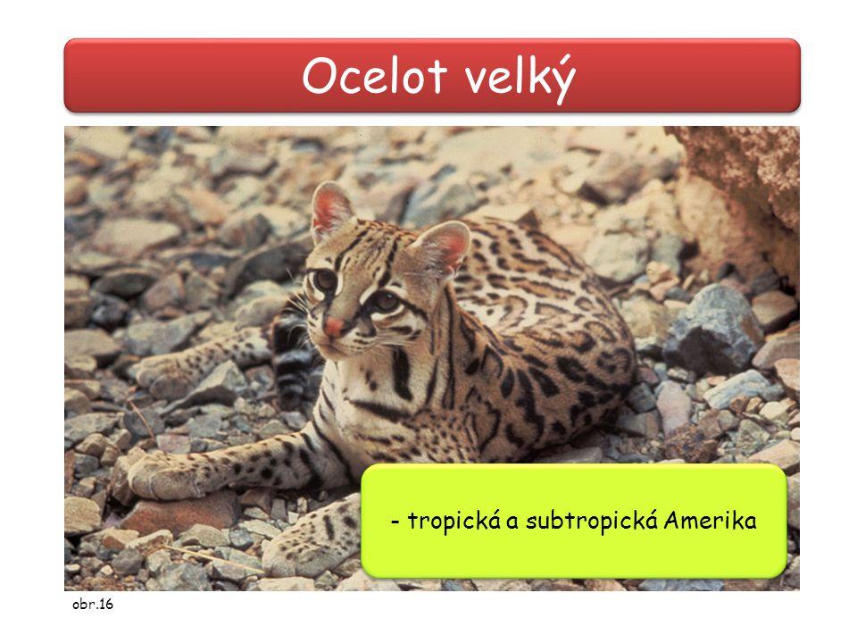 Ocelot velký - tropická a subtropická Amerika obr.16