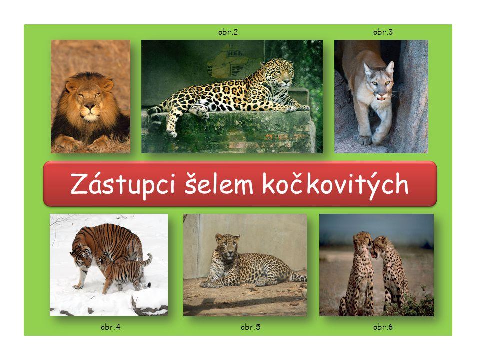Zástupci šelem kočkovitých obr.4 obr.2 obr.5obr.6 obr.3