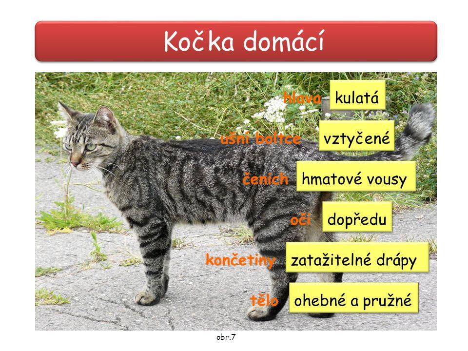 Kočka domácí hlava ušní boltce čenich oči končetiny tělo kulatá vztyčené dopředu hmatové vousy zatažitelné drápy ohebné a pružné obr.7
