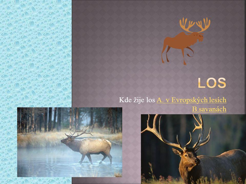 Kde žije los A. v Evropských lesích B.savanáchA. v Evropských lesích B.savanách