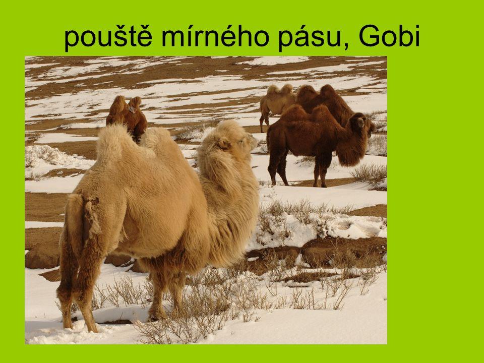 pouště mírného pásu, Gobi