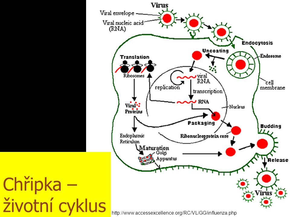 Chřipka – životní cyklus http://www.accessexcellence.org/RC/VL/GG/influenza.php