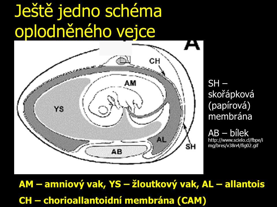 Ještě jedno schéma oplodněného vejce AM – amniový vak, YS – žloutkový vak, AL – allantois CH – chorioallantoidní membrána (CAM) SH – skořápková (papírová) membrána AB – bílek http://www.scielo.cl/fbpe/i mg/bres/v38n4/fig02.gif