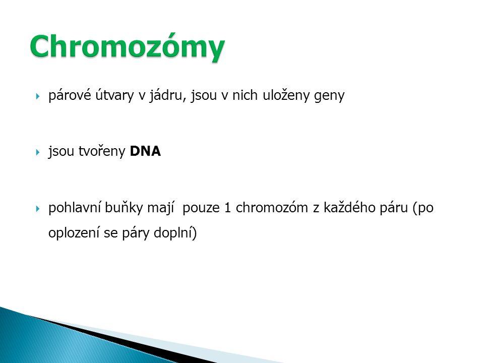  párové útvary v jádru, jsou v nich uloženy geny  jsou tvořeny DNA  pohlavní buňky mají pouze 1 chromozóm z každého páru (po oplození se páry doplní)