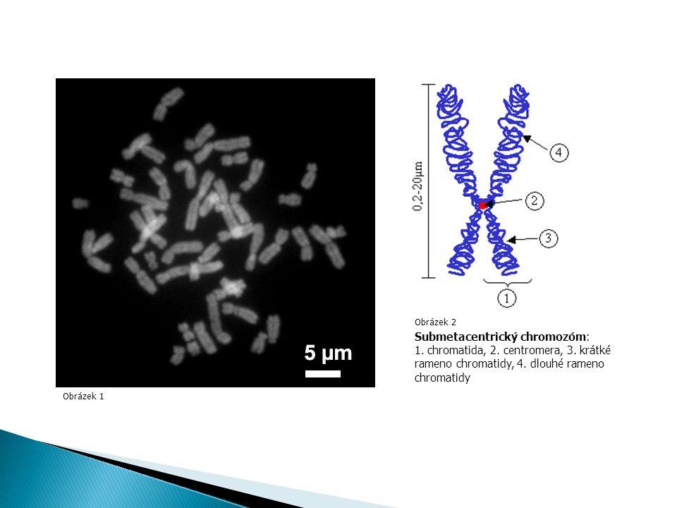 Obrázek 1 Obrázek 2 Submetacentrický chromozóm: 1.