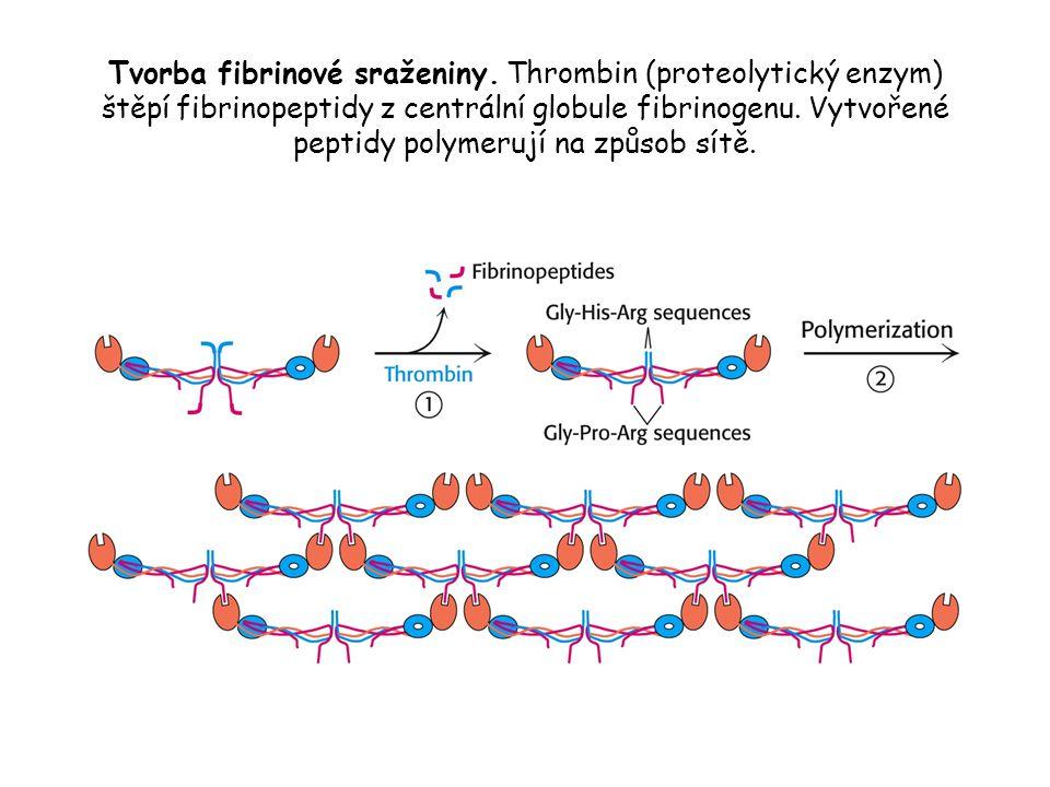 Tvorba fibrinové sraženiny. Thrombin (proteolytický enzym) štěpí fibrinopeptidy z centrální globule fibrinogenu. Vytvořené peptidy polymerují na způso