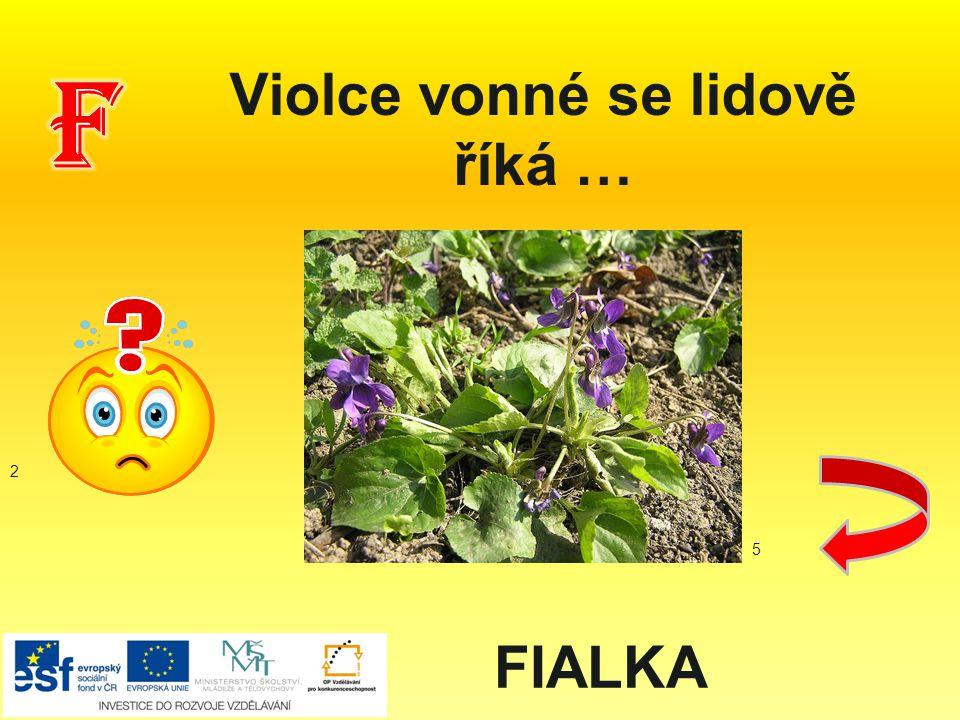 Violce vonné se lidově říká … FIALKA 2 5