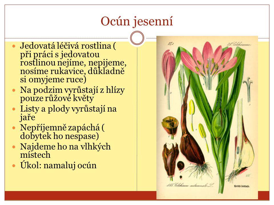 Ocún jesenní Jedovatá léčivá rostlina ( při práci s jedovatou rostlinou nejíme, nepijeme, nosíme rukavice, důkladně si omyjeme ruce) Na podzim vyrůsta