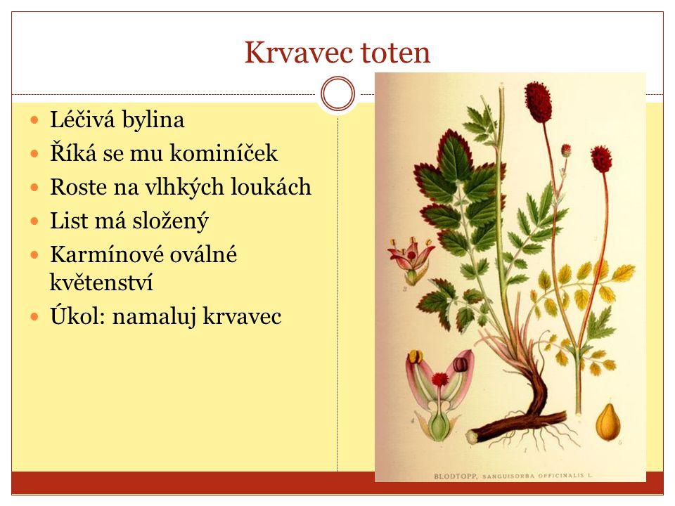 Krvavec toten Léčivá bylina Říká se mu kominíček Roste na vlhkých loukách List má složený Karmínové oválné květenství Úkol: namaluj krvavec