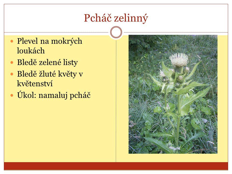 Pcháč zelinný Plevel na mokrých loukách Bledě zelené listy Bledě žluté květy v květenství Úkol: namaluj pcháč