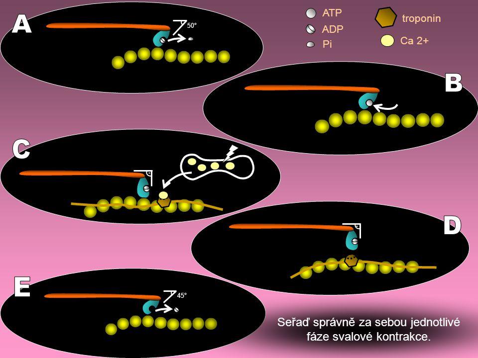 .. 50° 45° ATP ADP Pi Ca 2+ troponin Seřaď správně za sebou jednotlivé fáze svalové kontrakce.