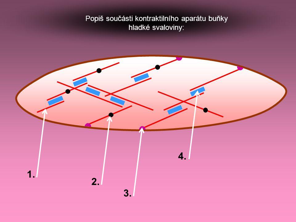 Popiš součásti kontraktilního aparátu buňky hladké svaloviny: 1. 2. 3. 4.