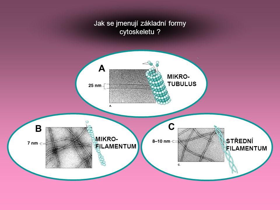 Jak se jmenují základní formy cytoskeletu ? MIKRO- TUBULUS MIKRO- FILAMENTUM STŘEDNÍ FILAMENTUM A B C