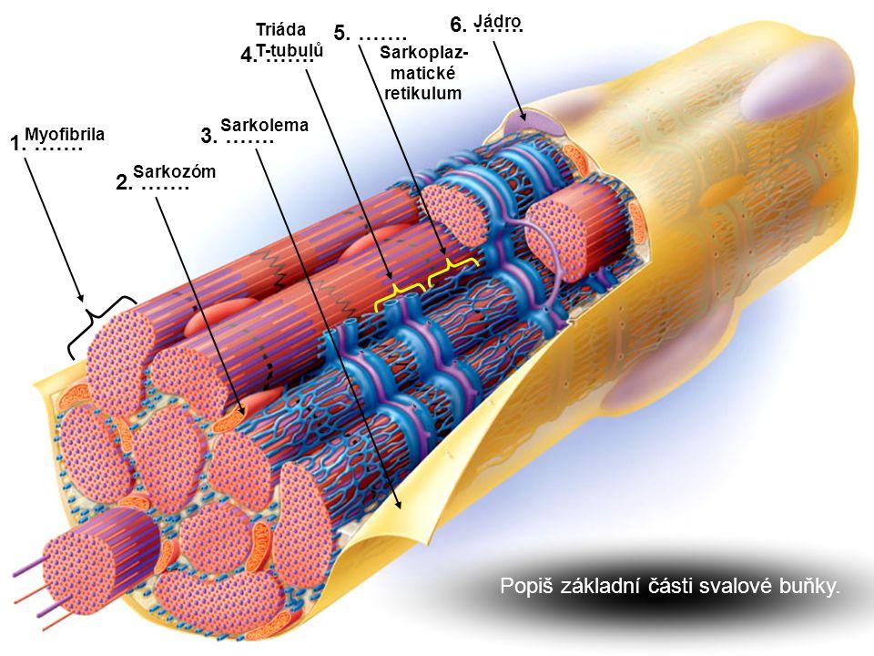 1. ……. 2. ……. 3. ……. 4. ……. 5. ……. 6. ……. Sarkozóm Sarkolema Triáda T-tubulů Sarkoplaz- matické retikulum Jádro Myofibrila