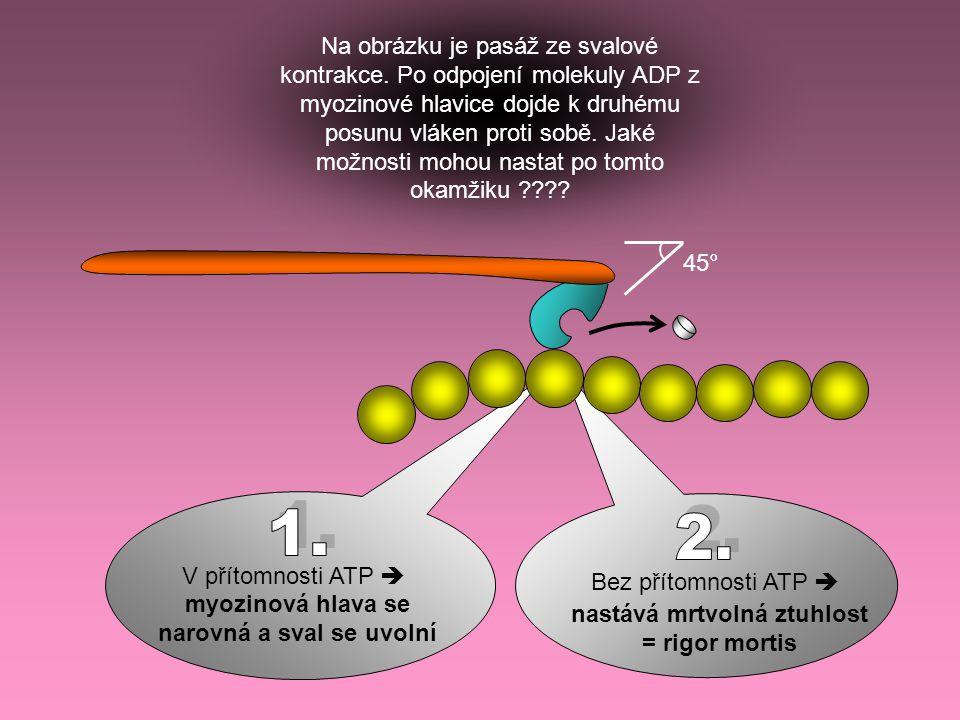 45° Na obrázku je pasáž ze svalové kontrakce. Po odpojení molekuly ADP z myozinové hlavice dojde k druhému posunu vláken proti sobě. Jaké možnosti moh