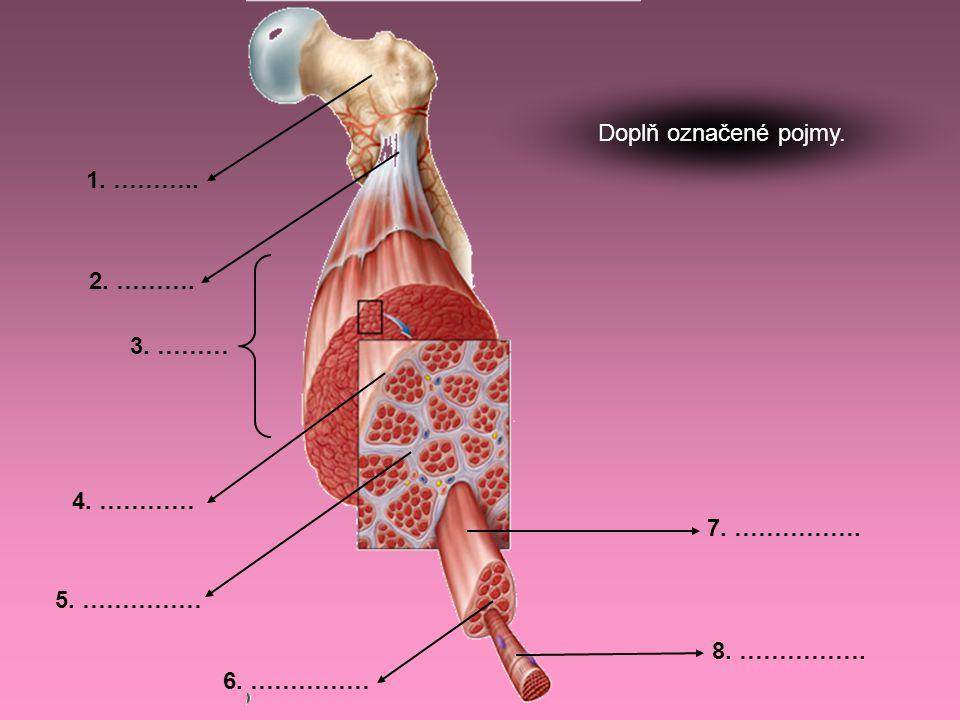 1. ………… 2. ………… 3. ………… 4. ………… Popiš základní části svalové buňky.