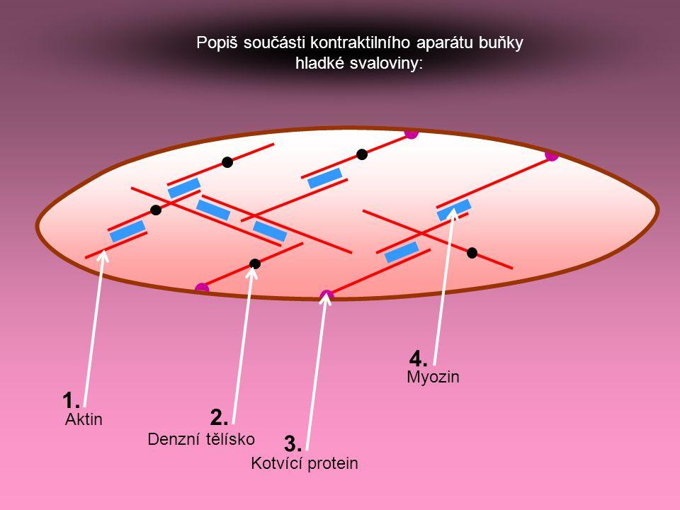 Popiš součásti kontraktilního aparátu buňky hladké svaloviny: Denzní tělísko Kotvící protein Myozin Aktin 1. 2. 3. 4.