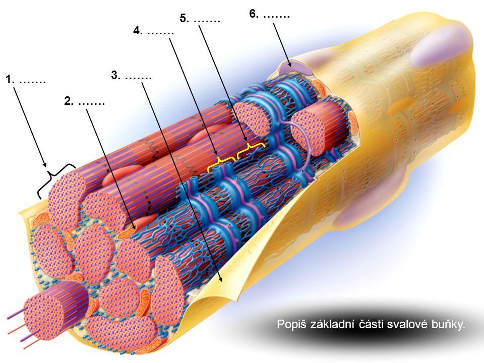 Co způsobuje příčné žíhání příčně pruhovaných svalů ???