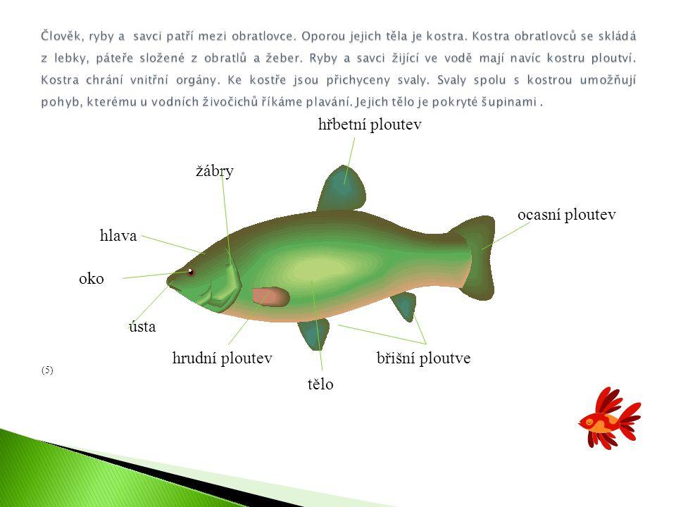 hřbetní ploutev hlava žábry ocasní ploutev tělo břišní ploutve ústa oko hrudní ploutev