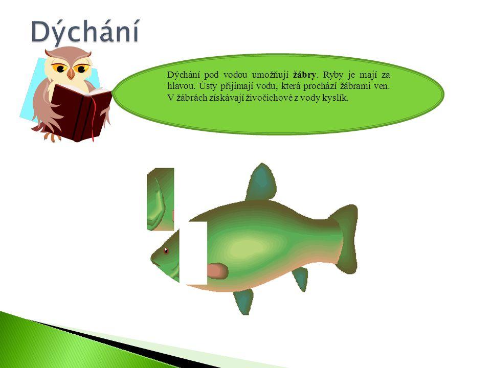 Dýchání pod vodou umožňují žábry.Ryby je mají za hlavou.