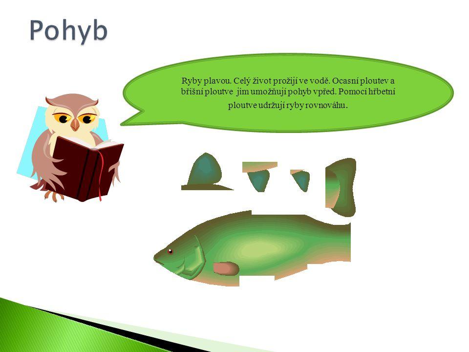 Ryby plavou.Celý život prožijí ve vodě. Ocasní ploutev a břišní ploutve jim umožňují pohyb vpřed.
