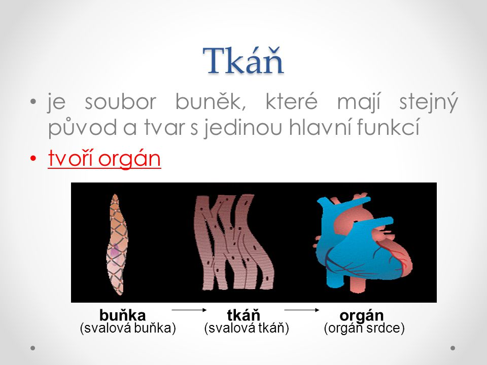 Tkáň je soubor buněk, které mají stejný původ a tvar s jedinou hlavní funkcí tvoří orgán buňkatkáňorgán (svalová buňka)(svalová tkáň)(orgán srdce)