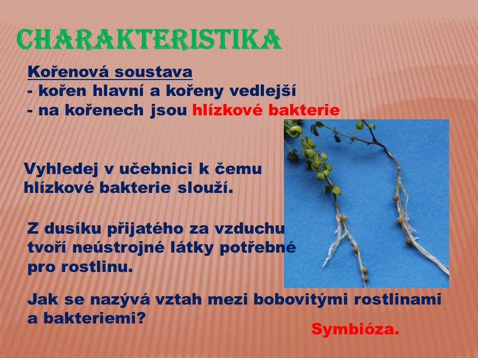 CHarakteristika Kořenová soustava - kořen hlavní a kořeny vedlejší - na kořenech jsou hlízkové bakterie Vyhledej v učebnici k čemu hlízkové bakterie s