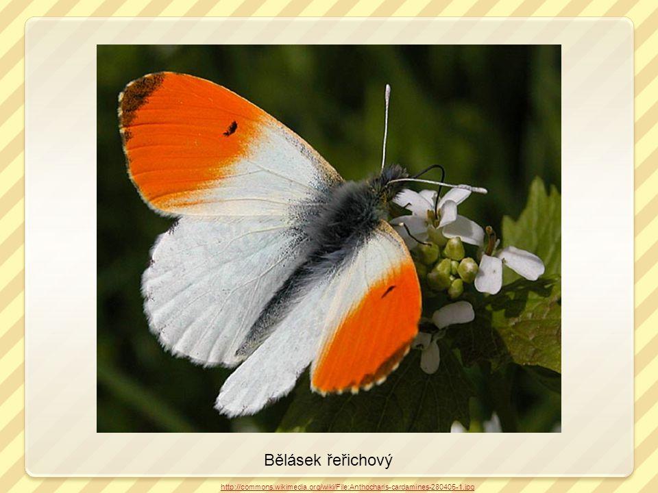 Bělásek řeřichový http://commons.wikimedia.org/wiki/File:Anthocharis-cardamines-280405-1.jpg kladélko