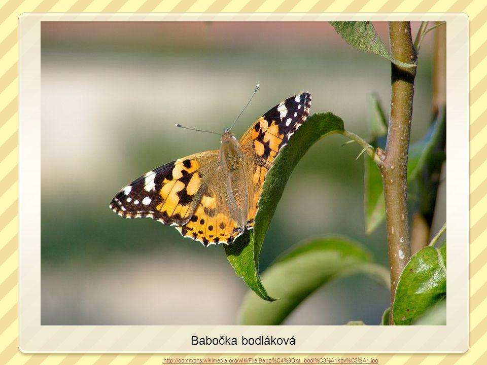 Babočka bodláková http://commons.wikimedia.org/wiki/File:Babo%C4%8Dka_bodl%C3%A1kov%C3%A1.jpg kladélko