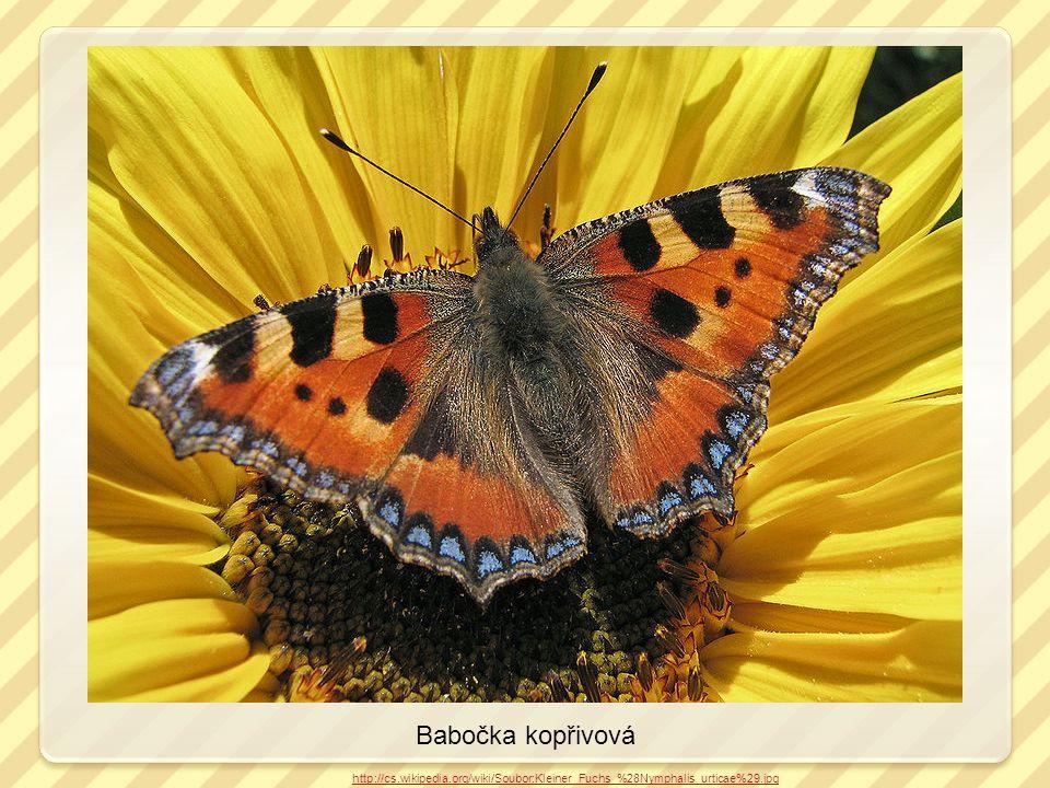 Babočka kopřivová http://cs.wikipedia.org/wiki/Soubor:Kleiner_Fuchs_%28Nymphalis_urticae%29.jpg kladélko