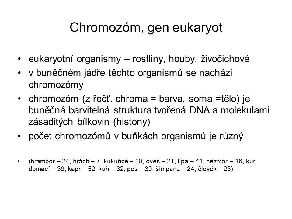 Chromozóm, gen eukaryot eukaryotní organismy – rostliny, houby, živočichové v buněčném jádře těchto organismů se nachází chromozómy chromozóm (z řečť.