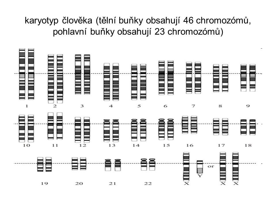 karyotyp člověka (tělní buňky obsahují 46 chromozómů, pohlavní buňky obsahují 23 chromozómů)